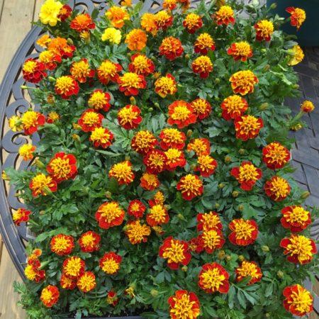 marigolds french marigold